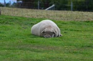 Das vermutlich chilligste Schaf aller Zeiten